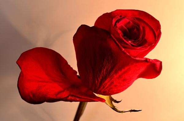 Rose by Davidroid