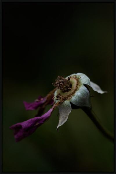 Vanishing Rosebud by Morpyre