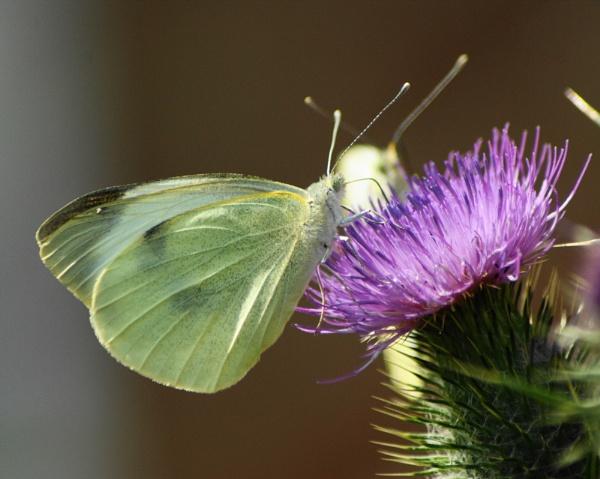 Pieris brassicae     white butterfly by mickr
