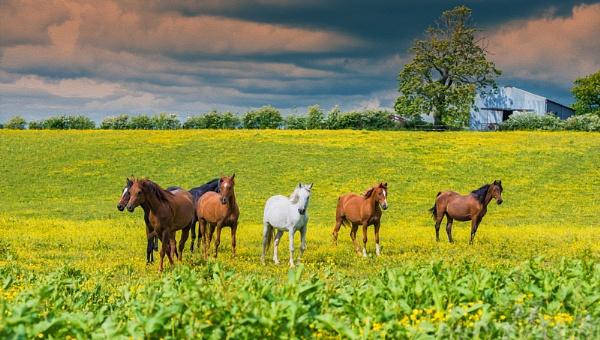 The Buttercup field by douglasR