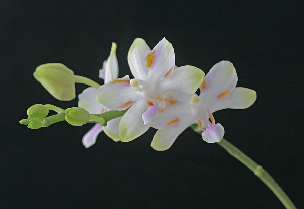 minature orchid by adrian_w