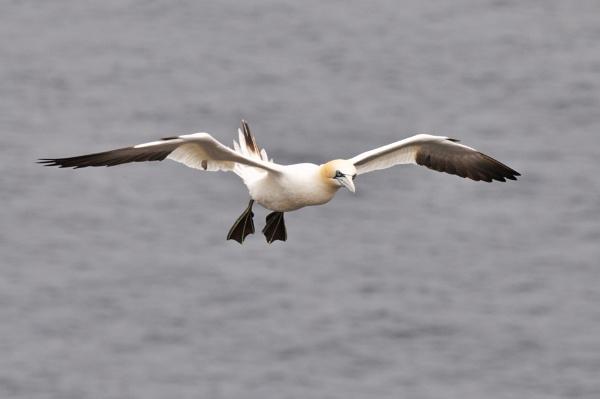 Gannet in flight by Mike_Reid