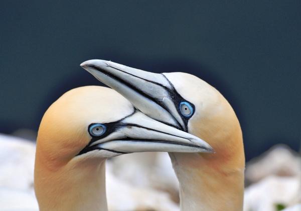 Gannet affection by Mike_Reid