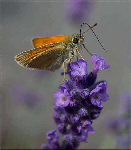 Skipper Butterfly by greatdog