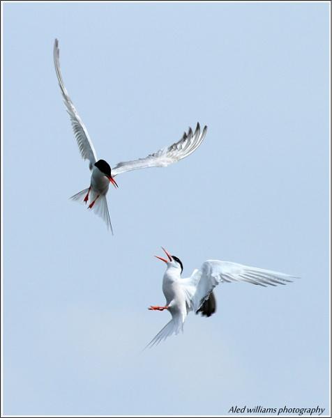 One good Tern.... by alfie99