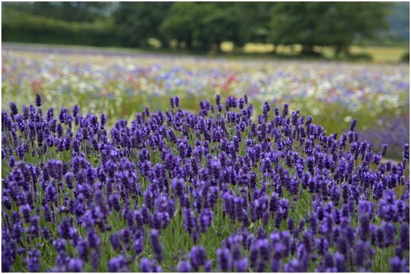 Lavender Splendour by Lillian