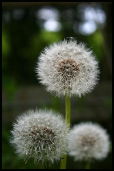 Dandelion Puff by Bufpuf2009
