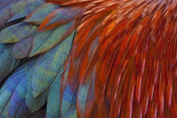 Rooster Feathers by llareggub