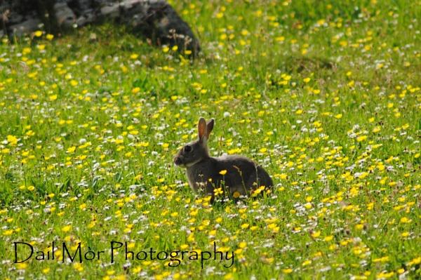 Rabbit in the Machair by sadmurph
