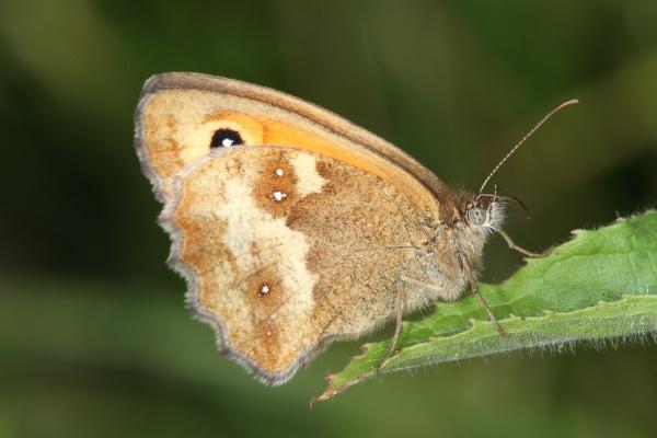 Gatekeeper Butterfly by Metro6R4