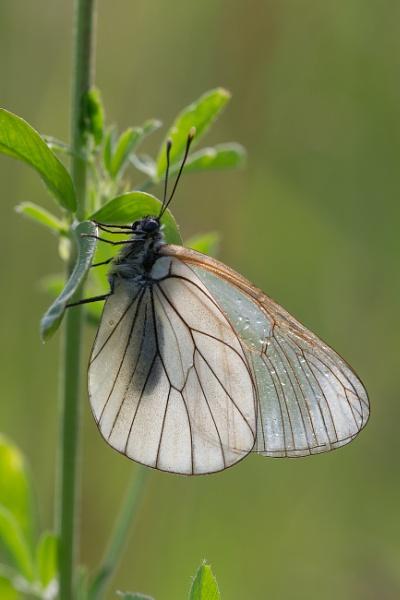 Black-veined White (Aporia crataegi) by livinglevels