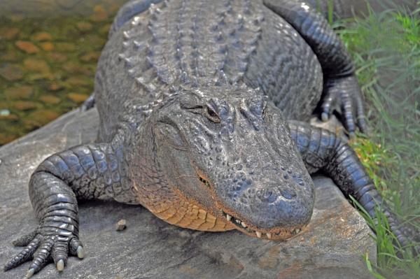 Crocodile by Kurde