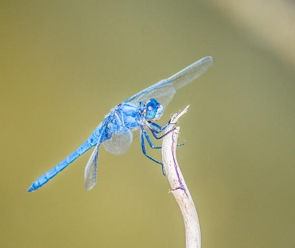 Blue dragonfly by derrymaine
