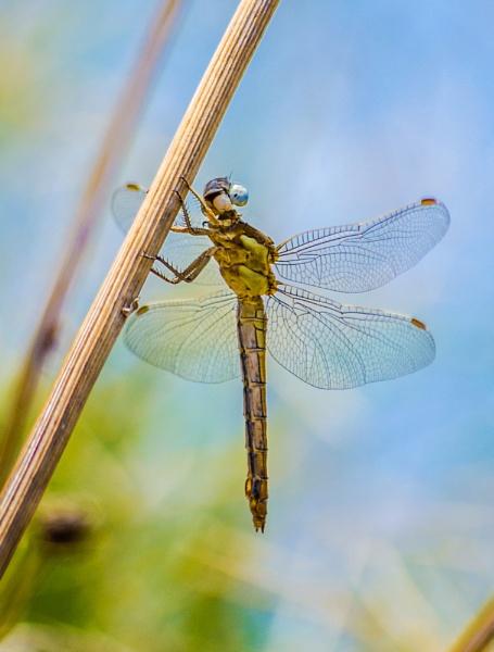 Dragonfly 2 by derrymaine