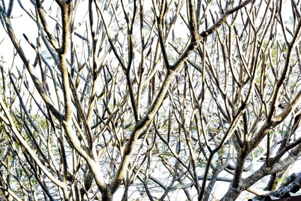 Frangipani : Winter by espresso