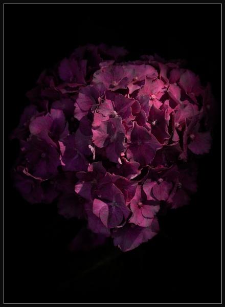 Hydrangea by Morpyre