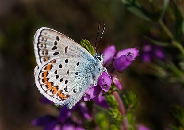 Silver-studded Blue Butterfly - Male by DerekL