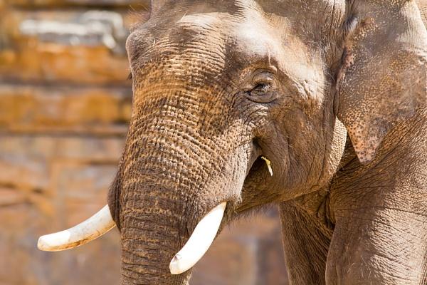 Elephant by chrisheathcote