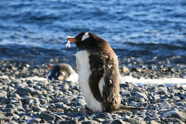 gentoo penguin by brianwakeling