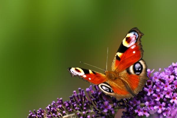 Peacock Butterfly by akhtarkhan