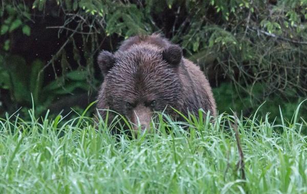 Bear stare by Hazelmouse