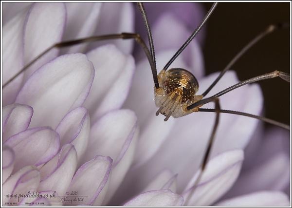 Opilione on Chrysanthemum by Paul_Iddon