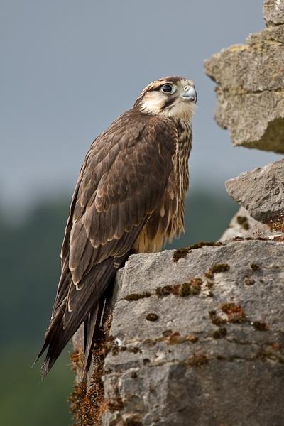 Falcon by SickChit
