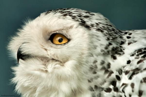 snowy owl by marcus1976