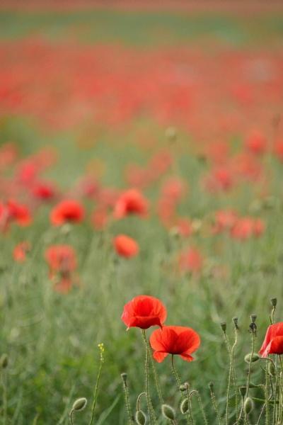 Poppy field by Fearny