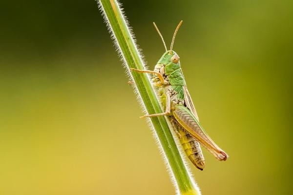 Vigilant Grasshopper by ChrisWallace