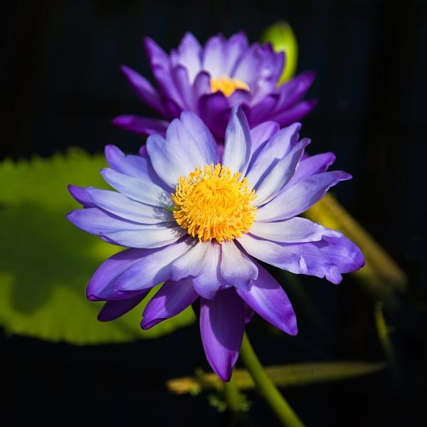 Kew Water Lily by DanG