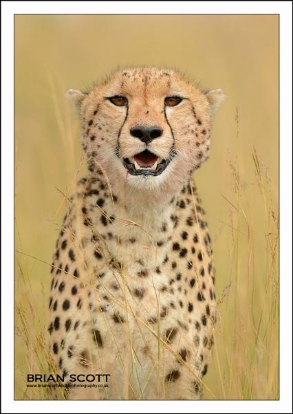 Cheetah Stare by Brian_Scott