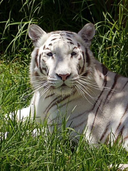White Tiger by SteveMcHale
