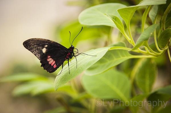 butter fly by lvphotogallery