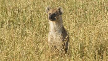 Lookout Hyena