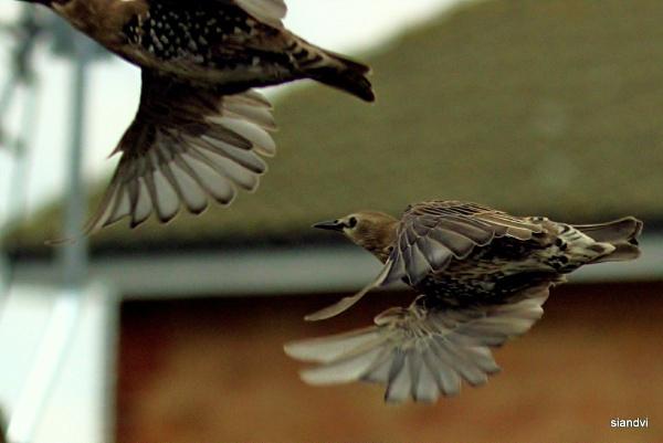 in flight (Starlings) by tamasalucy