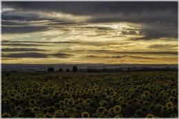 Sun Set Flowers