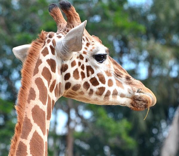 Giraffe @ turanga park Zoo by sooty_59