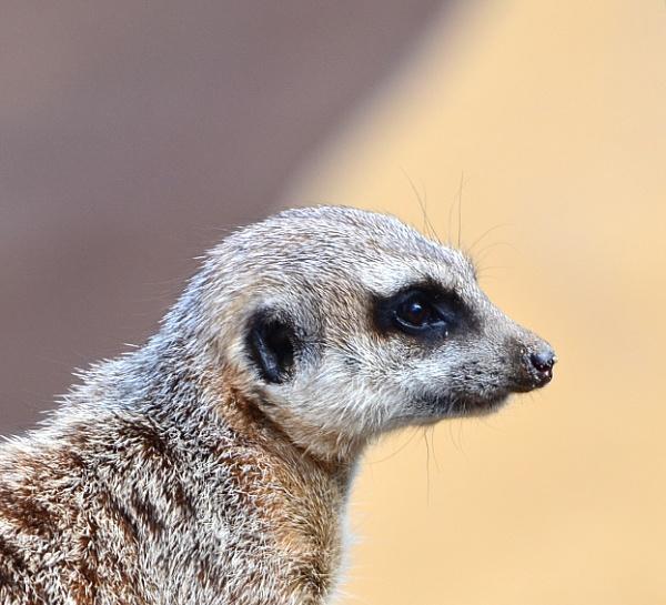 meercat  turanga park zoo by sooty_59