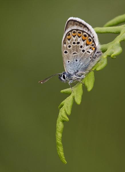 Silver Studded Blue On Bracken by fishiee