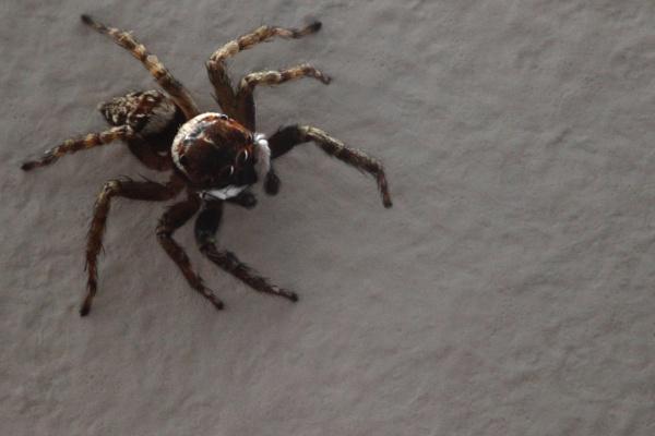 Jumping Spider by alistairfarrugia
