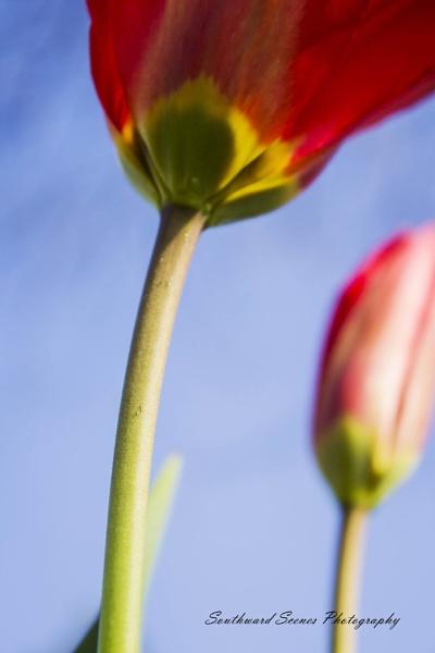 tulip by shutterbug8156