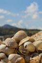 Kippford Shells