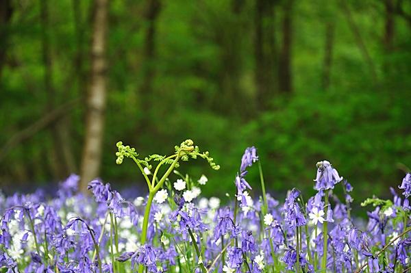 Blue Bells in Ryton Wood by KevRobo