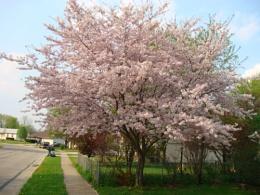 Flowering Wild Cherry