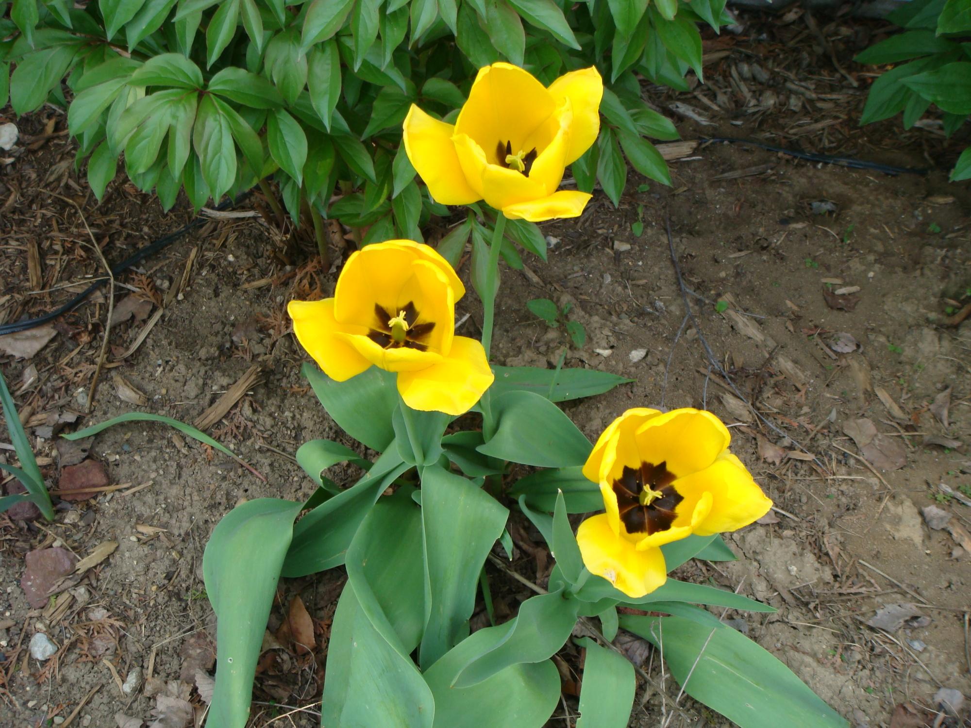 Spring Yellow - Tulip Hybrd