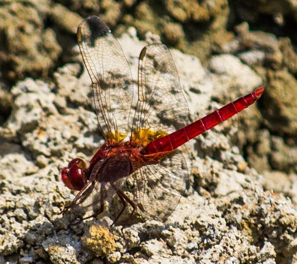 Dragonfly 3 by derrymaine