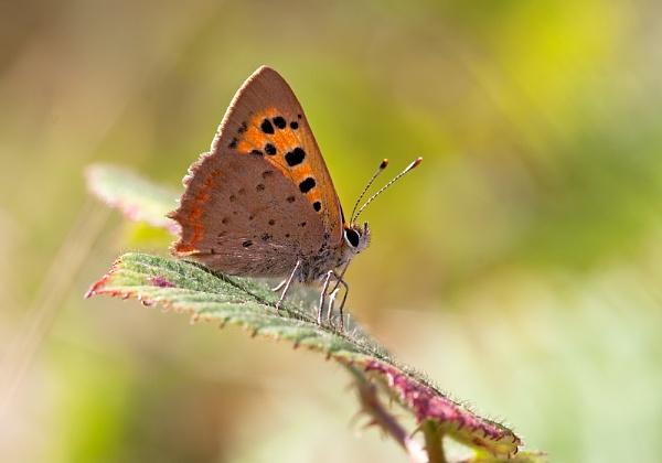 Small Copper by mattberry