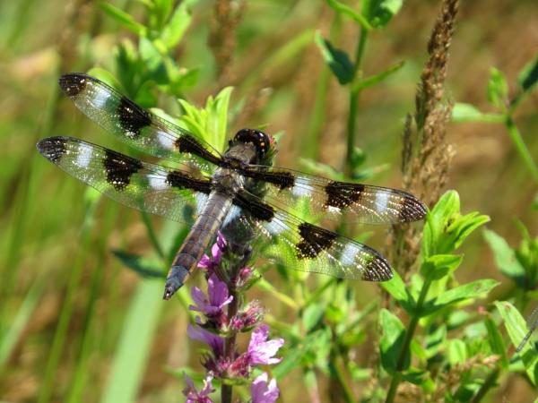 Dragonfly. by cindyblacklock