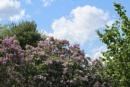 Blue Skies & Lilacs